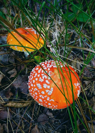 High angle view of orange mushroom growing on field