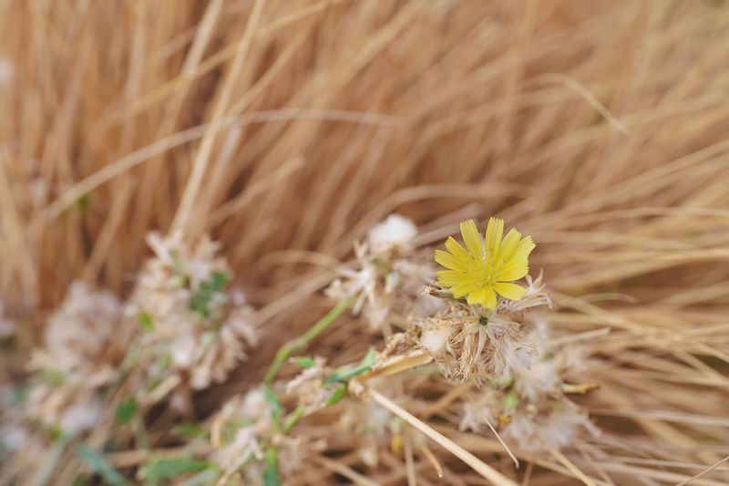 tiny yellow flower Floral Photography Warm Morning Brown Wild Grass Bokeh Nature Yellow Flowers In Nature Flower Flower Head Arid Climate Close-up Plant Grass