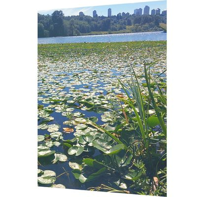 Lake Vancouver Summer Lillypads