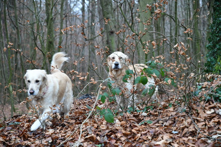 Dogs Dogs In The Trees Golden Golden Retriever Hund Day Dog Domestic Animals Hunde Hunde Im Wald Hundefotografie Labrador Retriever Mammal Outdoor Outdoors Pets Pets Of Eyeem Playing Dogs Retriever Retrieveroftheday Wald