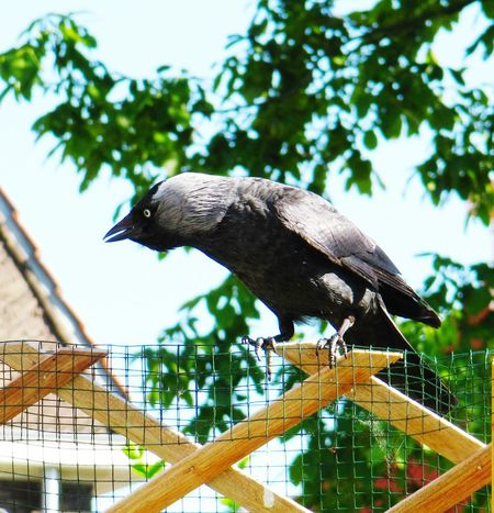 Jackdaw Fledgling Learning To Fly Fence Springtime Sunshine Garden Day Tree Bird Animal Wildlife Perching Animals In The Wild Nature Outdoors Close-up