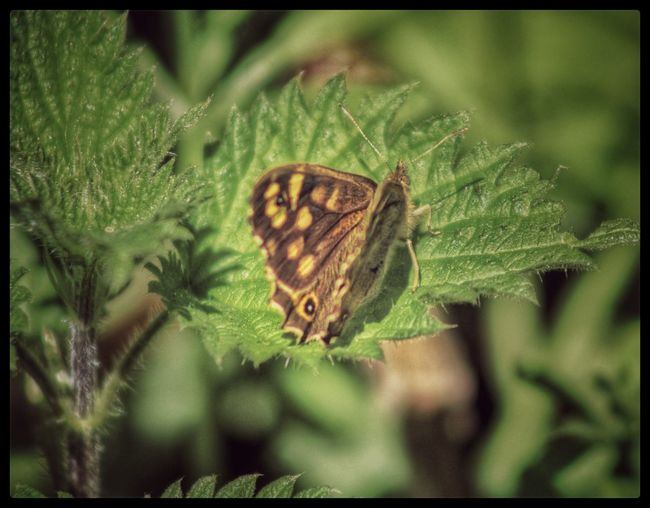 EyeEm Nature Lover Nature_collection Natures Magic Nature Nature On Your Doorstep EyeEm Best Shots Butterflies And Moths Butterfly Collection Nettles Stinging Nettles Butterfly On Nettles EyeEm Best Shots - Nature Butterfly Springtime Our Best Pics EyeEm Gallery Natures Diversities