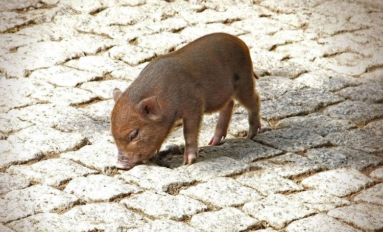 Animal Animal Themes Animals In The Wild Frischling Nature One Animal Varken Verraco Wild Boar Wildlife Wildschwein Wildschweinbaby Zoology