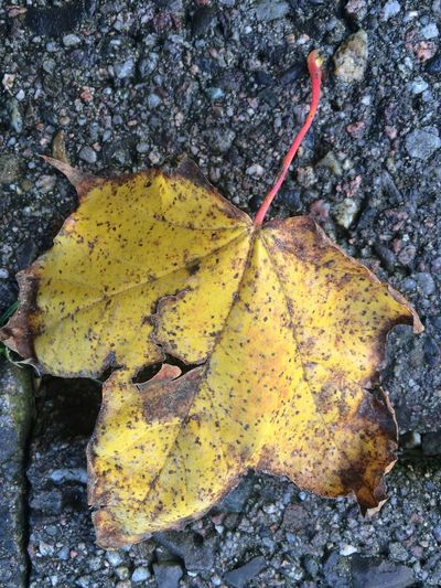 Autumn Beauty In Nature Change Close-up Day Dry Fragility High Angle View Leaf Leaves Macro Maple Leaf Natural Condition Nature No People Outdoors Plant Plant Part Rock Rock - Object Solid Textured  Vulnerability  Yellow Autumn Mood