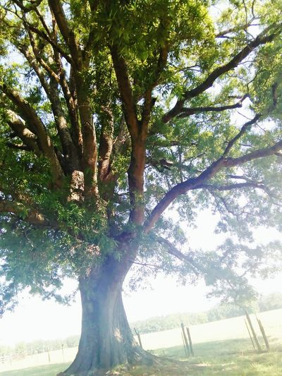 My Favorite Oak Tree First Eyeem Photo