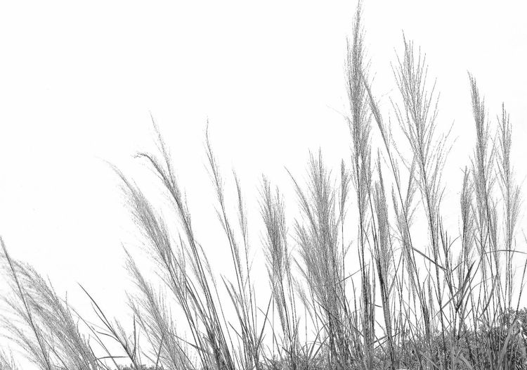 Black & White Close-up No People Nature Outdoors Day Beauty In Nature Grasses Simple Simple Moments Pattern, Texture, Shape And Form Fine Art Photography Freshness Growth Fragility Still Life Photography Nature_collection Check This Out Meditation Minimalism