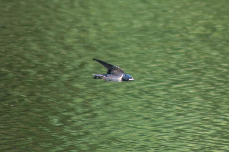 Swallow Animal