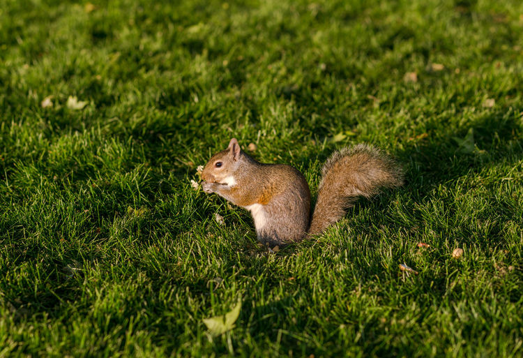 Squirrel enjoying a snack on a summer's evening in Hyde Park, London. Animal Animal Themes Animal Wildlife Field Grass Mammal Nature No People One Animal Outdoors Rodent Selective Focus Side View Squirrel Urban Wildlife