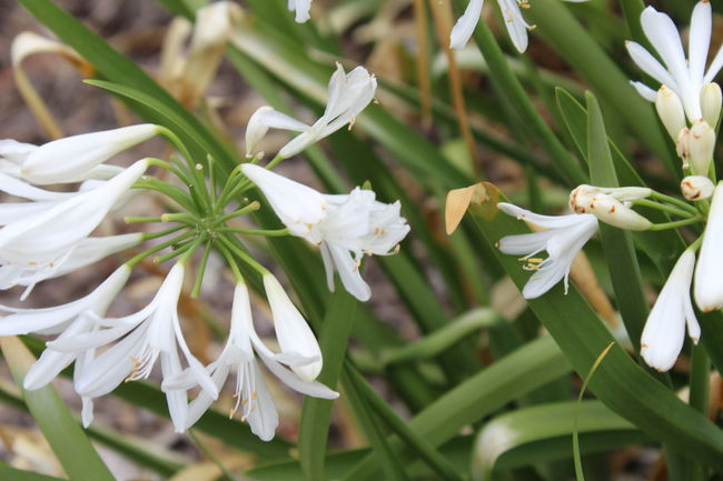 Bell Flowers Nature Plants Beauty Droopy Flower Green Leaves Green Stems White