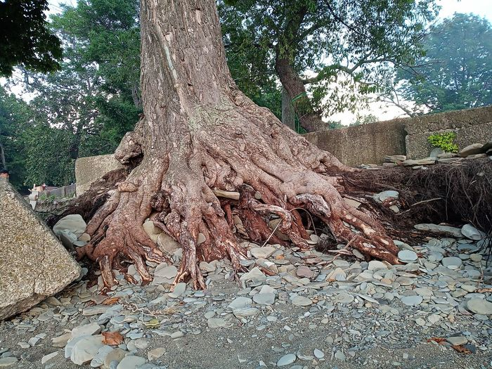 old tree on the