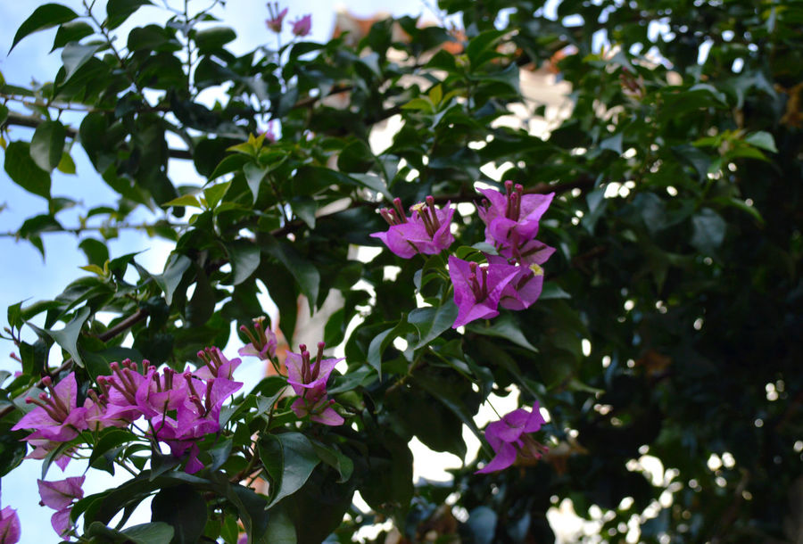 Blooming Day Flower Flower Head Freshness Leaf Nature Pink Color Plant Tree