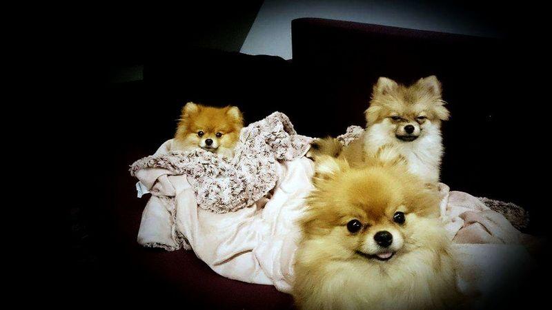 Funny Dog Pomeranian Cute Puppy Dogs Spitz Spitzdog Selfie Portrait Selfiestick Selfıe