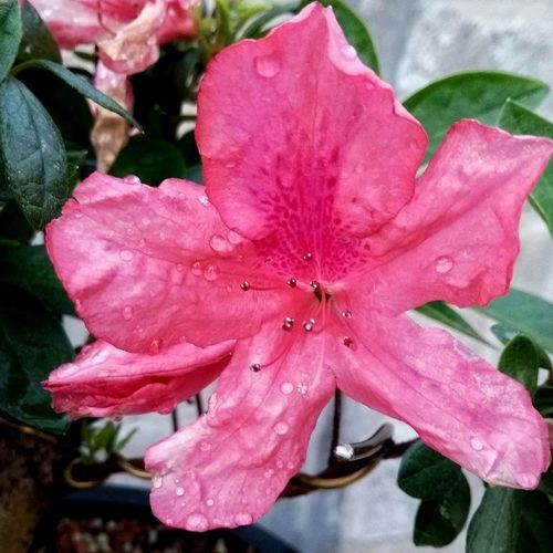 Pink Color Flower Petal Beauty In Nature Fragility Flower Head Nature Plant Azaleia Freshness Rhododendron Growth No People Stamen Outdoors Day Water Springtime Close-up