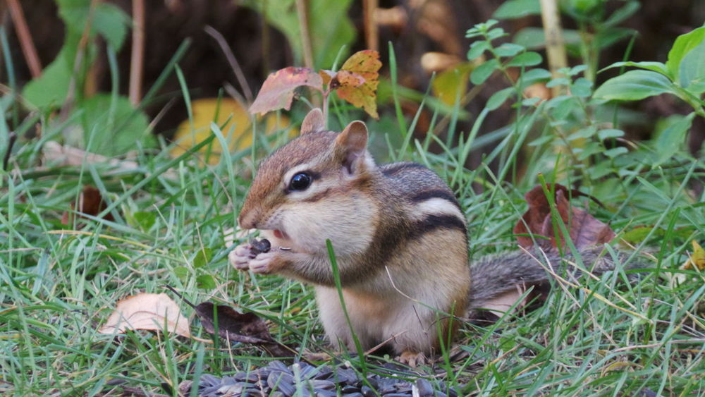 Wildlife Wildlife & Nature Check This Out Taking Photos Wildlife Photography At The Feeder Nature Photography Nature On Your Doorstep Nature_collection Chipmunk Cheeks!!!  Chipmunk Eating Chipmunk Close-up Chipmunk Photography Chipmunk Fall Collection Relaxing
