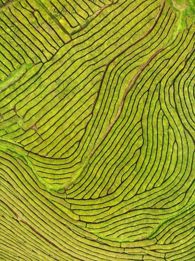 Topdown view of the plantation Tourism Açores - São Miguel Azores Portugal DJI X Eyeem DJI Mavic Air Drone Photography Concentric Natural Pattern Beauty In Nature High Angle View Creativity Environment Abstract Shape Textured  Outdoors Plant Directly Above Close-up Design No People Nature Full Frame Backgrounds Green Color Pattern