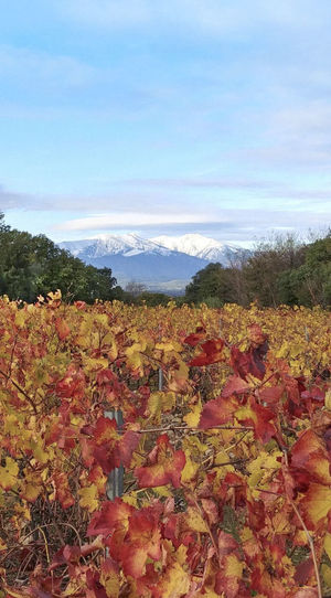 Canigou Mountain Catalan Plant Autumn Landscape Sky Field Change Beauty In Nature Nature Land Cloud - Sky Environment Leaf Scenics - Nature Plant Part No People Tranquility Tranquil Scene Day Growth Tree Outdoors Leaves