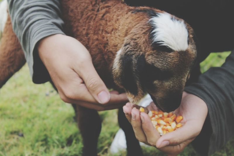 Close-up of person feeding corn kernel to goat at farm