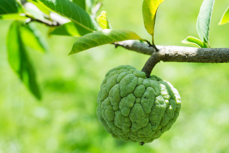 Close-Up Of Custard Apple Hanging On Tree