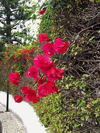 Buganvilla Buganvílias Buganville Buganbilias Flowers Blume Blumen Pink Pink Flower Blossom Blüte Blüten Nature Hecke Taking Photos Enjoying Life Hello World Tenerife Teneriffa SPAIN Puerto De La Cruz