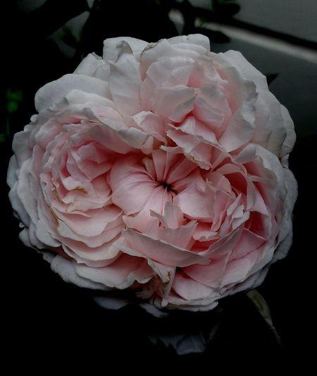 Pink Color Flower Black Background Rose - Flower Rose Collection Nature Beauty In Nature Old Rose Parfum Rose🌹 BYOPaper!