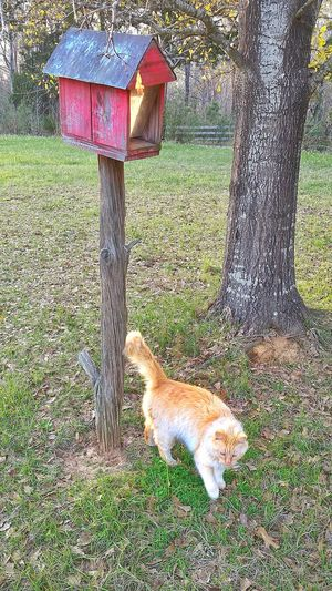 Animal Themes One Animal Grass Pets Nature No People Outdoors Day Mammal Animals In The Wild Feeder Domestic Animals Birdhouse Waiting Bird Watching Bird Feeder Red Color Hunting Patience Funny Patiently Waiting Yeah Right! Pet Cats Of EyeEm Pet Photography