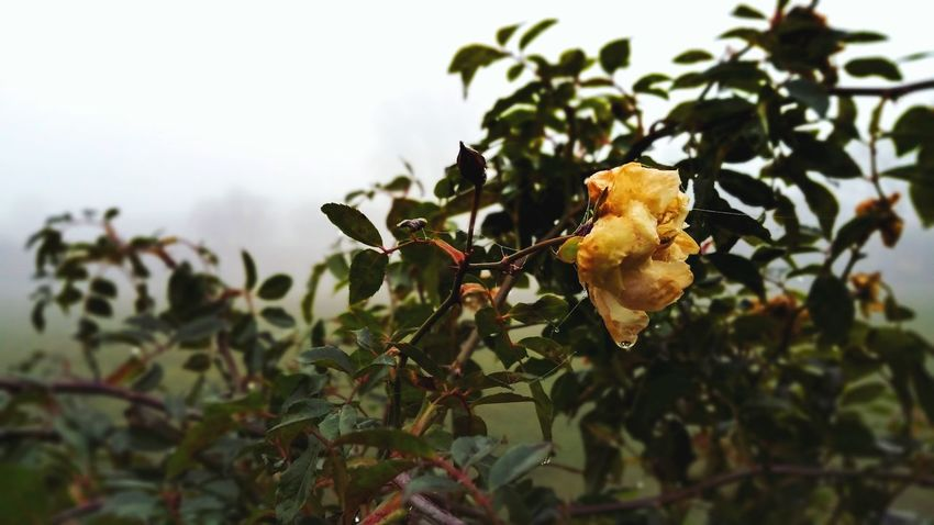 Nature Growth Leaf Roses Flower Winter Nature Nature_collection Nature Photography Focus On Foreground Beauty In Nature Plant Outdoors Fragility No People Day Close-up Perching Freshness Drop Water Fog Mist England