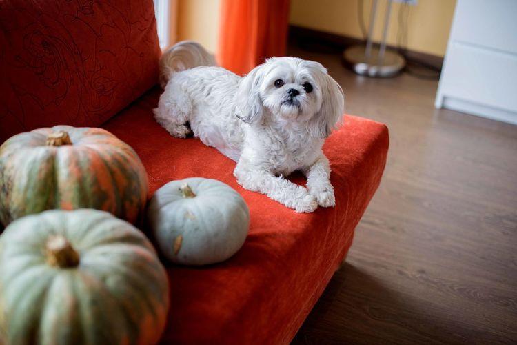 Shih tzu dog on sofa