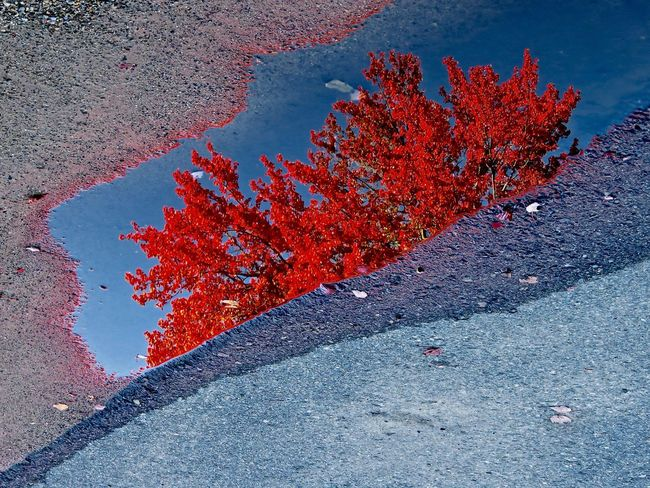 Maple tree reflected in puddle Puddle Water Reflection Pavement Maple Tree Fall Color New England