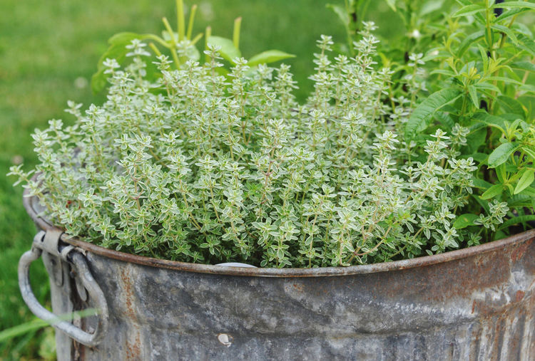 Close-up of fresh green herb plant