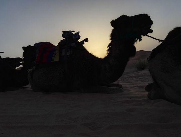 Sunrise Nofilter Camel Silhouette Outdoors Desertlife Sahara Desert Desert Sahara Sand Marrocco