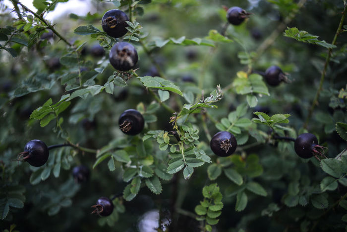 Black hips of Rosa canina in Vienna Beauty In Nature Black And White Black Briar Black Rose Hips Botany Briar Close-up Day Flower Focus On Foreground Green Nature No People Plant Plant Life Rosa Canina Hips Rose Hips