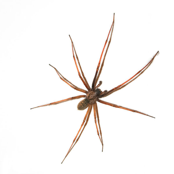 Large Spider on wall Animal Themes Animals Arachnid Arachnid Photography Brown Close-up Crawling Full Length Insect Insects  Invertebrate Isolated Isolated On White Legs Nature One Animal Portrait Single Spider Spooky THREATS White Background White Wall Wild Wildlife