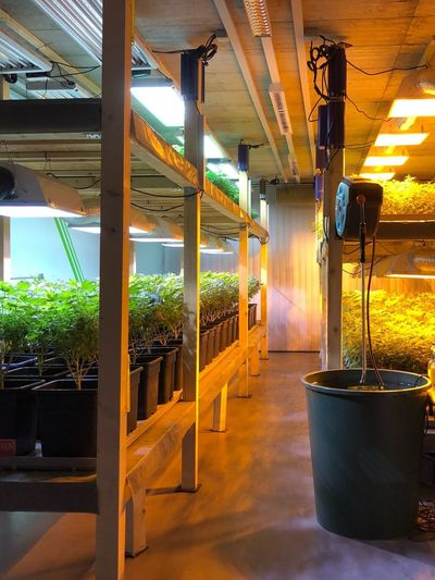 Indoor Garden CBD Medical Cannabis Plant Garden Architecture Garden Greenthumb Legal Swiss Quality Calanda Kush Medicine Medical Cannabis Indoors  No People Architecture Illuminated Day Nature Modern Workplace Culture Greenhouse Modern Workplace Culture