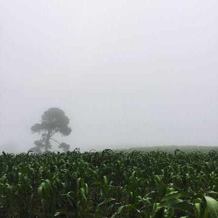 El árbol me dice que tu podrías estar hoy conmigo... Pero la neblina nos desaparece Bosque árbol Neblina Ajusco