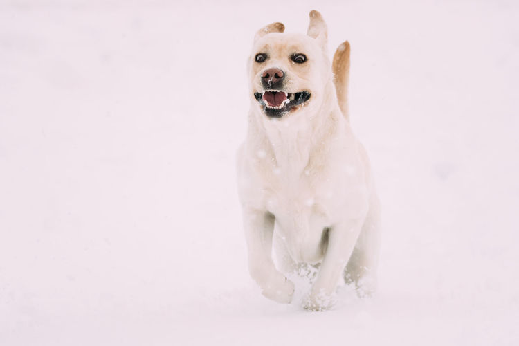 Funny Labrador Dog Playing Fast Running Outdoor In Snow, Winter Season. Playful Pet Outdoors. Snow Pets Dog Purebred Breed Pedigree Winter White Playing Animal Running White Color Cold Funny Labrador The Minimalist - 2019 EyeEm Awards