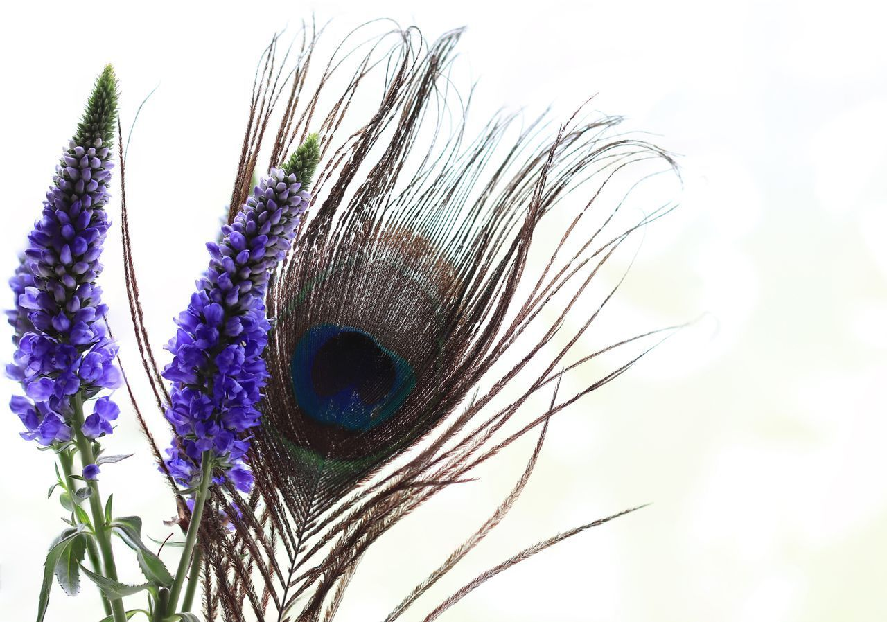 close-up, beauty in nature, plant, vulnerability, fragility, nature, white background, no people, flower, peacock, animal, day, animal themes, flowering plant, softness, one animal, feather, peacock feather, blue, eye, outdoors, purple, animal head