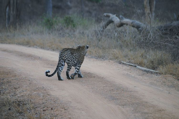 leopard in the