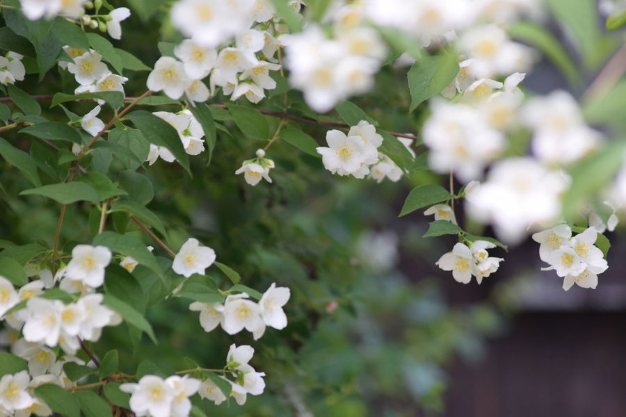 Backgrounds Beauty In Nature Blooming Blossom Botany Flower Freshness Growth In Bloom Jasmine Jasmine Flower Nature Petal White White Color