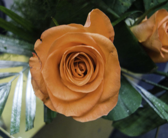 A peach colored rose mounted in a vase Beauty In Nature Close-up Flower Flower Head Freshness Nature No People Peach Rose Petal Plant Rose - Flower Rose Flower Rosé