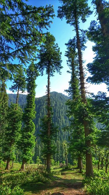 Secret Places No People Outdoors Nature Tree Pine Trees Greenery Tall Trees Sky Blue Sky  Mountain View Beauty In Nature Beautiful Place Kashmir