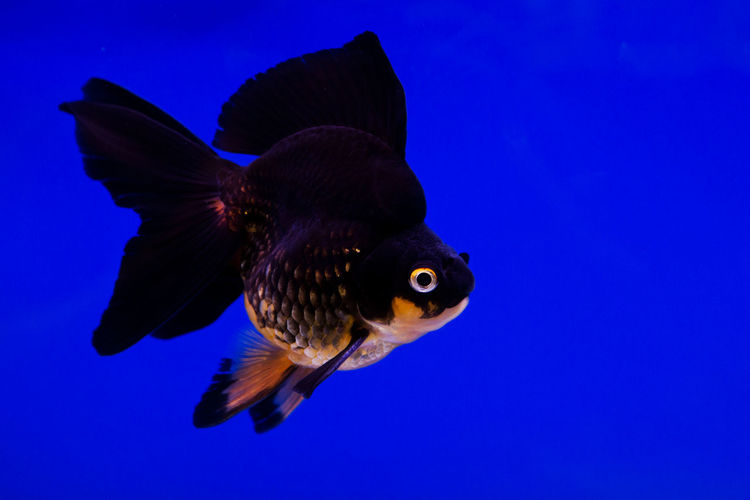 Thailand Isaan food. Animal Aquarium Aquatic Background Beautiful Bowl Bubble Carp Clear Color Concept Cute Dream FIN Fish Fishbowl Free Freedom Gill Gold Golden Goldfish Home Isolated Life Liquid Loneliness Macro Magic Motion Nature Ocean Orange Pet Scale  Silence Single Small Still Swim Tail Tank Tropical Underwater Water White Wish