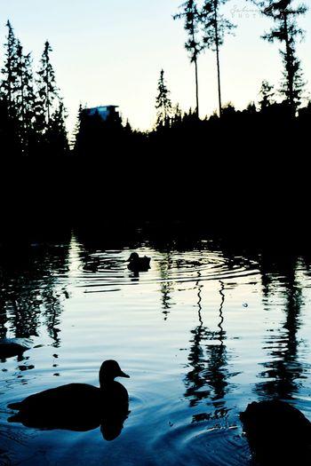 Hightatras  Vysoke Tatry Strbske Pleso Nature Ducks Silouette Lake Evening Reflection