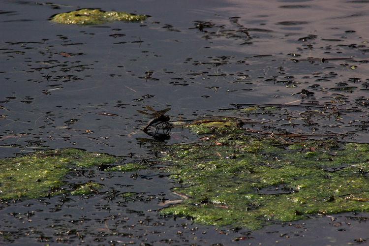 Eierlegen Libelle, Animal Animal Themes Animal Wildlife Animals In The Wild Lake Nature Water