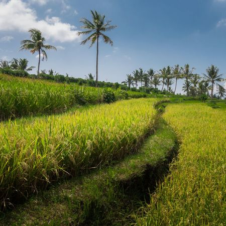 Growth Agriculture Green Color Tree Sky Cloud - Sky Tranquility Crop  No People Outdoors Palm Tree Landscape Field Plant Beauty In Nature Ricefield Ricefield View Ricefields Harvest