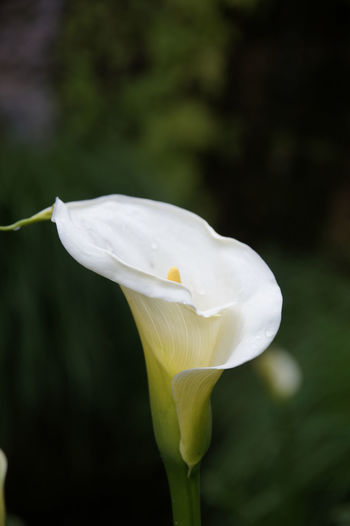 Calla Lily Flower Flowering Plant Fragility Beauty In Nature Petal White Color Plant Close-up Freshness Flower Head Calla Lily Day Outdoors No People Pollen Focus On Foreground Growth Nature