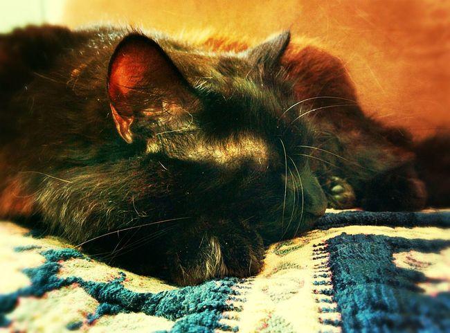 Chat Cat Sleeping Cat Endormi