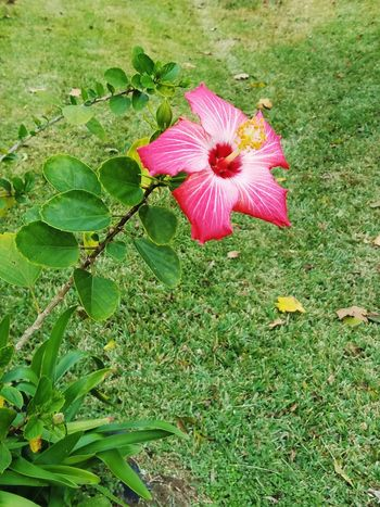 Hibiscus Flower Nature Petal Beauty In Nature Pink Color Green Color Plant Blooming No People Grass Outdoors Flower Head Leaf Day Growth Pretty Freshness Soft