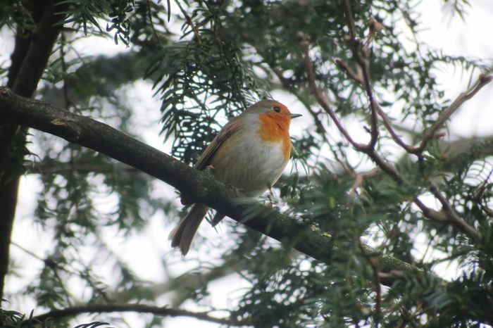Robin Birds Bird Birdwatching Bird Photography