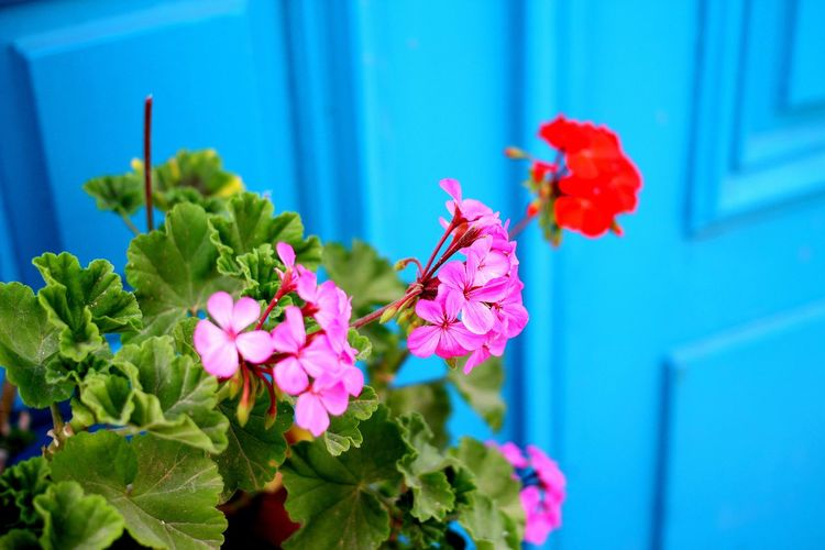 High angle view of flowers blooming against blue door
