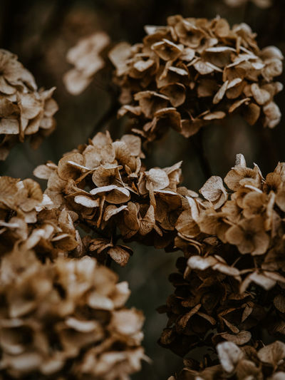 Macro photo of decaying hydrangea Close-up No People Dry Brown Vulnerability  Selective Focus Beauty In Nature Nature Pattern Fragility Plant Wilted Plant Large Group Of Objects Focus On Foreground Abundance Dried Plant Freshness Leaf Plant Part Flower Flower Head Dead Plant Dried Leaves